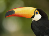 Toco Toucan, Close-Up of Beak, Brazil, South America Posters by Pete Oxford