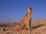 Cheetah, Tsaobis Leopard Park, Namibia Reprodukcja zdjęcia autor Tony Heald