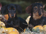 Dachsund Dog Puppies, Smooth Haired and Wire Haired, Dark Coloured Photographic Print by Lynn M. Stone