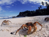Coconut Crabs on Beach, Christmas Island Plakat af Jurgen Freund