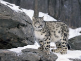 Juvenile Snow Leopard Poster par Lynn M. Stone