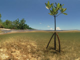 Jurgen Freund - Young Mangrove Tree Sapling Split-Level Shot, Caribbean Fotografická reprodukce