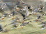 White Fronted Geese, Taking off from Field, Europe Premium Photographic Print by Dietmar Nill