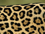 Jaguar, Close-Up of Fur Pattern, Pantanal, Brazil Photographic Print by Staffan Widstrand