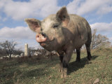 Domestic Pig (Mixed Breed) USA Photographic Print by Lynn M. Stone