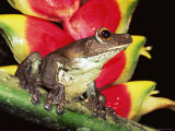 Tree Frog (Hyla Sp) Ecuadorian Amazon, South America Photographic Print by Pete Oxford