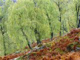 Native Birch Woodland in Autumn, Glenstrathfarrar Nnr, Scotland, UK Premium Photographic Print by Pete Cairns