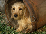 Wire Haired Dachshund, Portrait in Wooden Barrel Posters by Lynn M. Stone