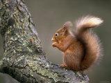 Red Squirrel, Angus, Scotland, UK Fotografisk tryk af Niall Benvie
