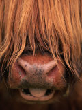 Highland Cattle, Head Close-Up, Scotland Premium Photographic Print by Niall Benvie