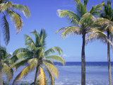 Coconut Palms on Beach, Tropical Island of Belize, Summer 1997 Premium Photographic Print by Phil Savoie