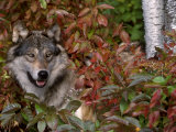 Grey Wolf Amongst Woodland Leaves, Minnesota, USA Posters by Lynn M. Stone