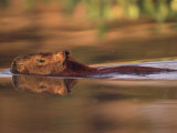 Capybara Swimming, Pantanal, Brazil Premium Photographic Print by Pete Oxford