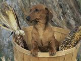Smooth Haired Dachshund Dog (Canis Familiaris) Fotografisk tryk af Lynn M. Stone