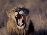 Male Lion Roaring (Panthera Leo) Kruger National Park South Africa Photographic Print by Tony Heald