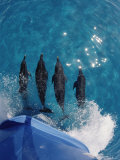 Atlantic Spotted Dolphins (Stenella Frontalis) Bowriding Bahamas Photographic Print by Jurgen Freund