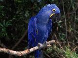 Hyacinth Macaw (Anodorhynchus Hyacinthinus) Láminas por Lynn M. Stone