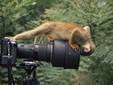 Squirrel Monkey, Investigates Camera, Amazonia, Ecuador Prints by Pete Oxford