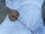 Birch Leaf Caught in Frozen Pond, Almer Lake, Bavaria, Germany Premium Photographic Print by Martin Gabriel