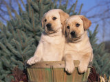 Golden Labrador Retriever Puppies, USA Photographic Print by Lynn M. Stone