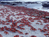 Masses of Christmas Island Red Crabs Spawning on the Beach Photographic Print by Jurgen Freund