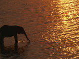 African Elephant, Drinking at Dusk, Chobe National Park, Botswana Photographic Print by Pete Oxford