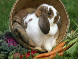 French Lop Eared Rabbit in a Tub Photographic Print by Lynn M. Stone