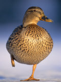 Mallard Female Duck Standing on One Leg on Ice, Highlands, Scotland, UK Photo by Pete Cairns