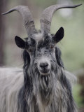 Feral Goat Male, Scotland Photographic Print by Niall Benvie