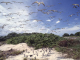 Tern Colony on Tubbataha Reef Philippines Affiches par Jurgen Freund