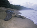 Leatherback Turtle Returning to Sea after Laying Eggs, Grand Riviere, Trinidad Photographic Print by Pete Oxford