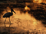 Silhouette of Jabiru Stork in Water, at Sunset, Pantanal, Brazil Posters by Staffan Widstrand