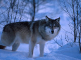 European Grey Wolf Male in Snow, C Norway Premium Photographic Print by Asgeir Helgestad