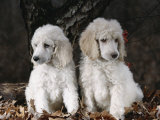 Standard Poodle Dog Puppies, USA Lminas por Lynn M. Stone