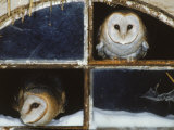 Barn Owls Looking out of a Barn Window Germany Prints by Dietmar Nill