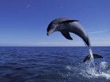 Bottlenose Dolphin Leaping, Bahamas Fotografisk trykk av John Downer