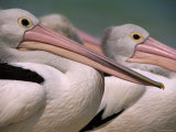 Australian Pelicans, Queensland, Australia Prints by Staffan Widstrand