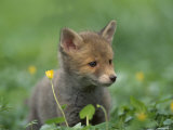 Red Fox Cub at a Rehab Centre, Scotland, UK Photographic Print by Niall Benvie