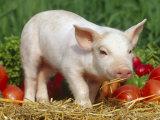 Domsetic Piglet with Vegetables, USA Fotodruck von Lynn M. Stone