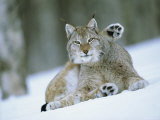 European Lynx Male Grooming in Snow, Norway Premium Photographic Print by Pete Cairns
