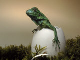 Baby Iguana Placed in a Goose Egg, (Iguana Iguana) Premium Photographic Print by Jurgen Freund