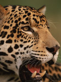 Close-Up of Young Male Jaguar Face,.Brazil Prints by Staffan Widstrand