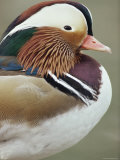 Mandarin Duck, Close up of Male Head, USA Photographic Print by John Cancalosi