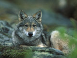 Young European Grey Wolf Resting, Norway Photographic Print by Asgeir Helgestad