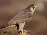 Peregrine Falcon Female (Falco Peregrinus), Subspecies Brookei from Southern Europe Photographic Print by Niall Benvie