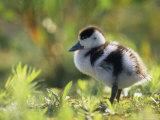 Shelduck Duckling, Belgium, Europe Photographic Print by Bernard Castelein
