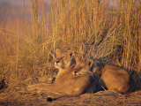 Lions Basking in Sun, Linyanti, Botswana Photographic Print by Peter Oxford