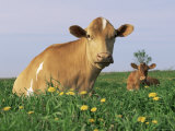 Guernsey Cows, at Rest in Field, Illinois, USA Poster by Lynn M. Stone