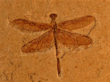 Fossil Insect, Dragonfly, Early Cretaceous, Brazil Prints by John Cancalosi