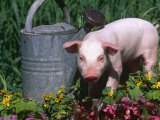 Domestic Piglet Beside Watering Can, USA Fotografisk tryk af Lynn M. Stone